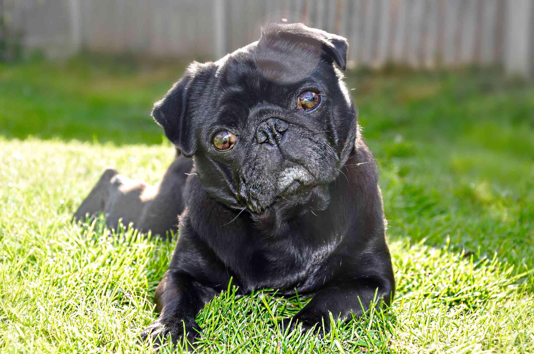 Black pug on grass
