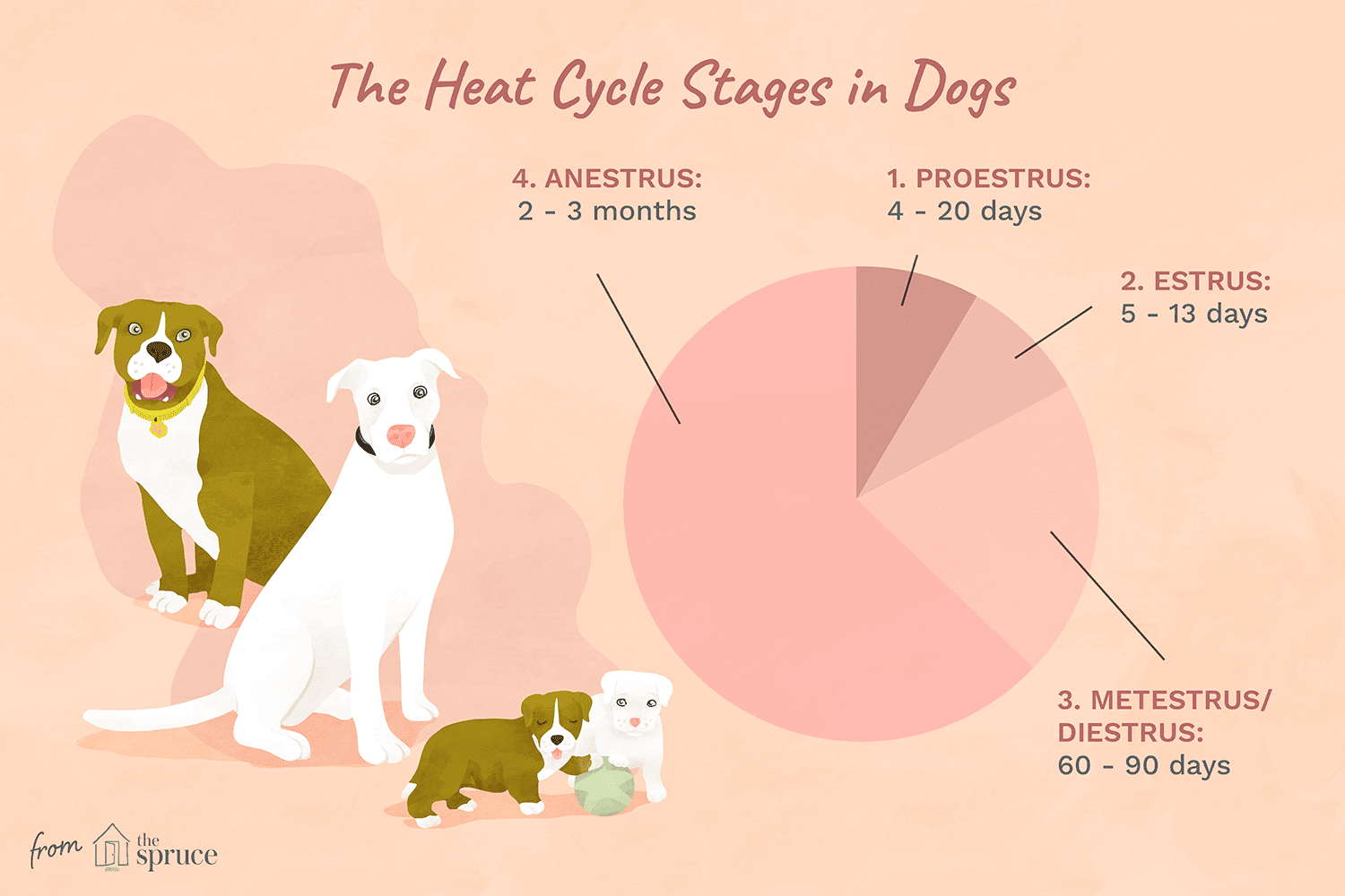 Illustration of the heat cycle stages in dogs including proestrus, estrus, metestrus, and anestrus.