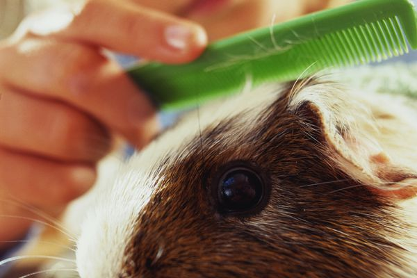 Young girl combing her guinea pig