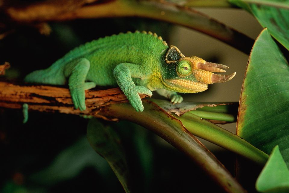 Jackson's chameleon sitting on a tree branch.