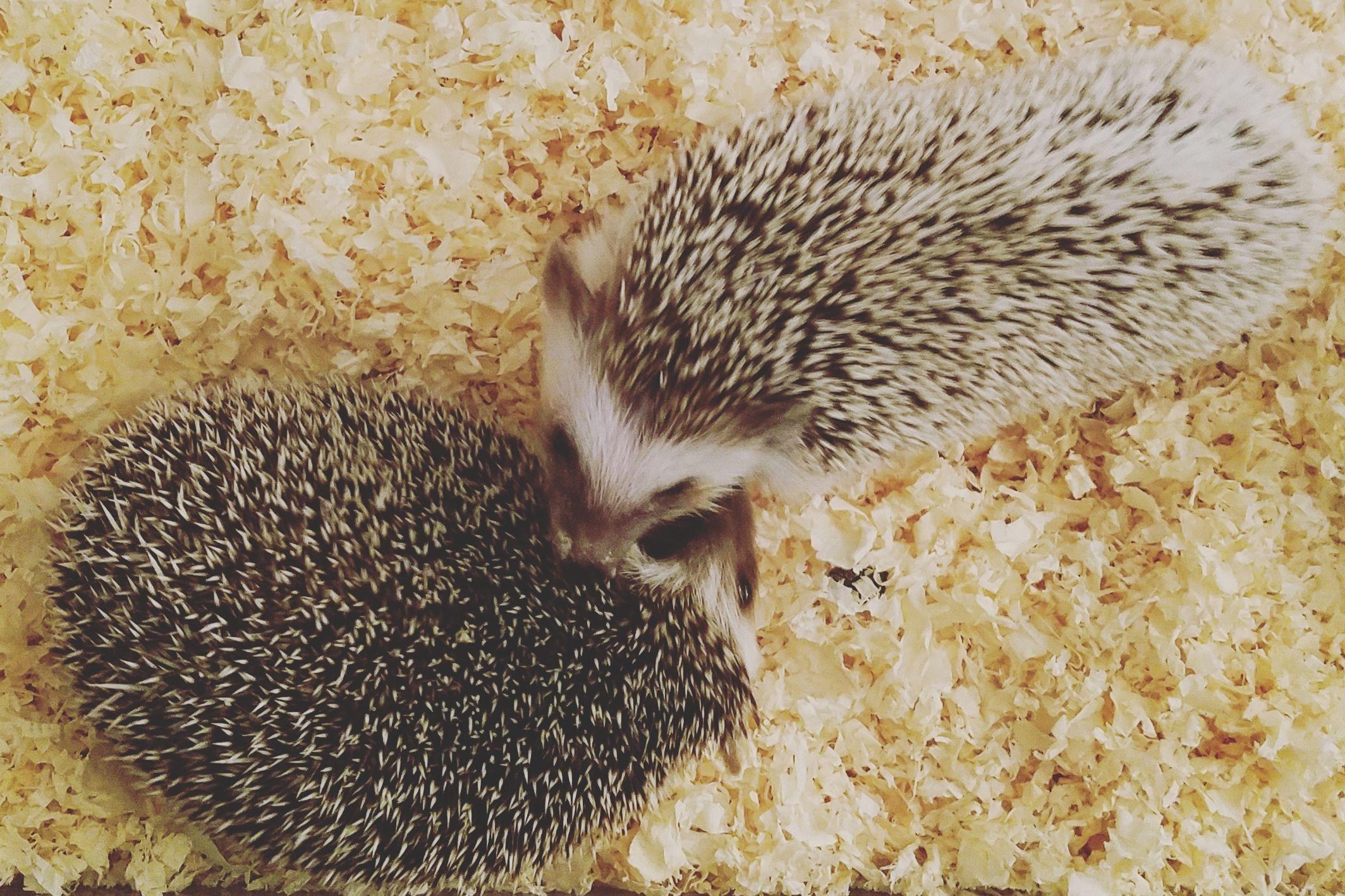 Hedgehog Cat Food Requirements