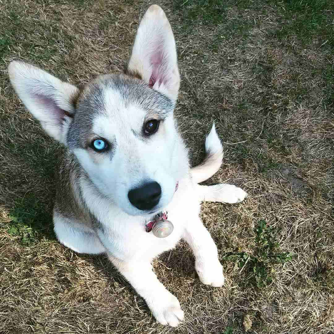 A Siberian husky puppy with two different colored eyes.