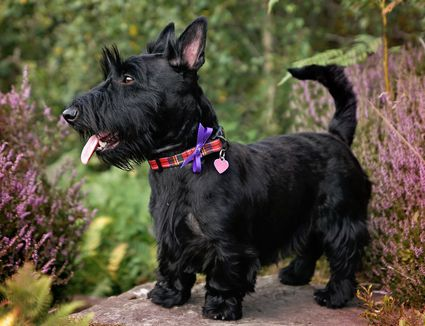 Black Scottish terrier