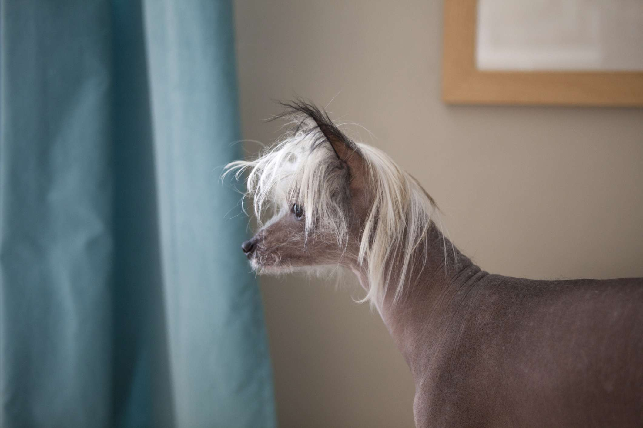 Chinese crested dog looking outside