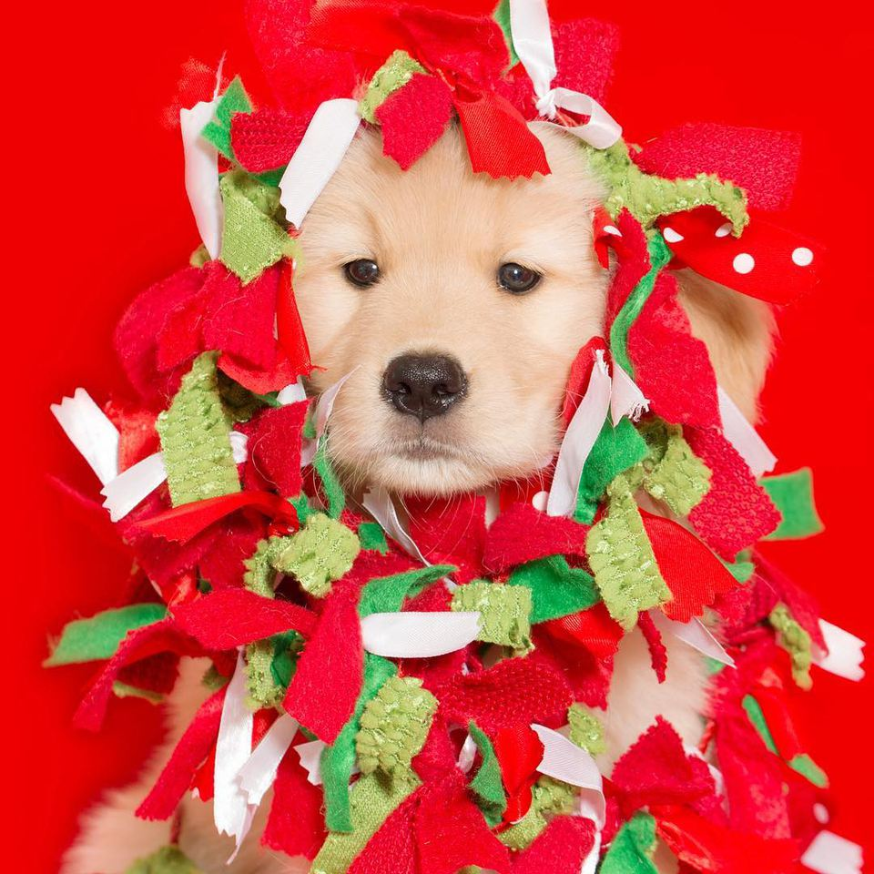 12 Dog Days Till Christmas.The 12 Days Of Dogs Christmas Countdown