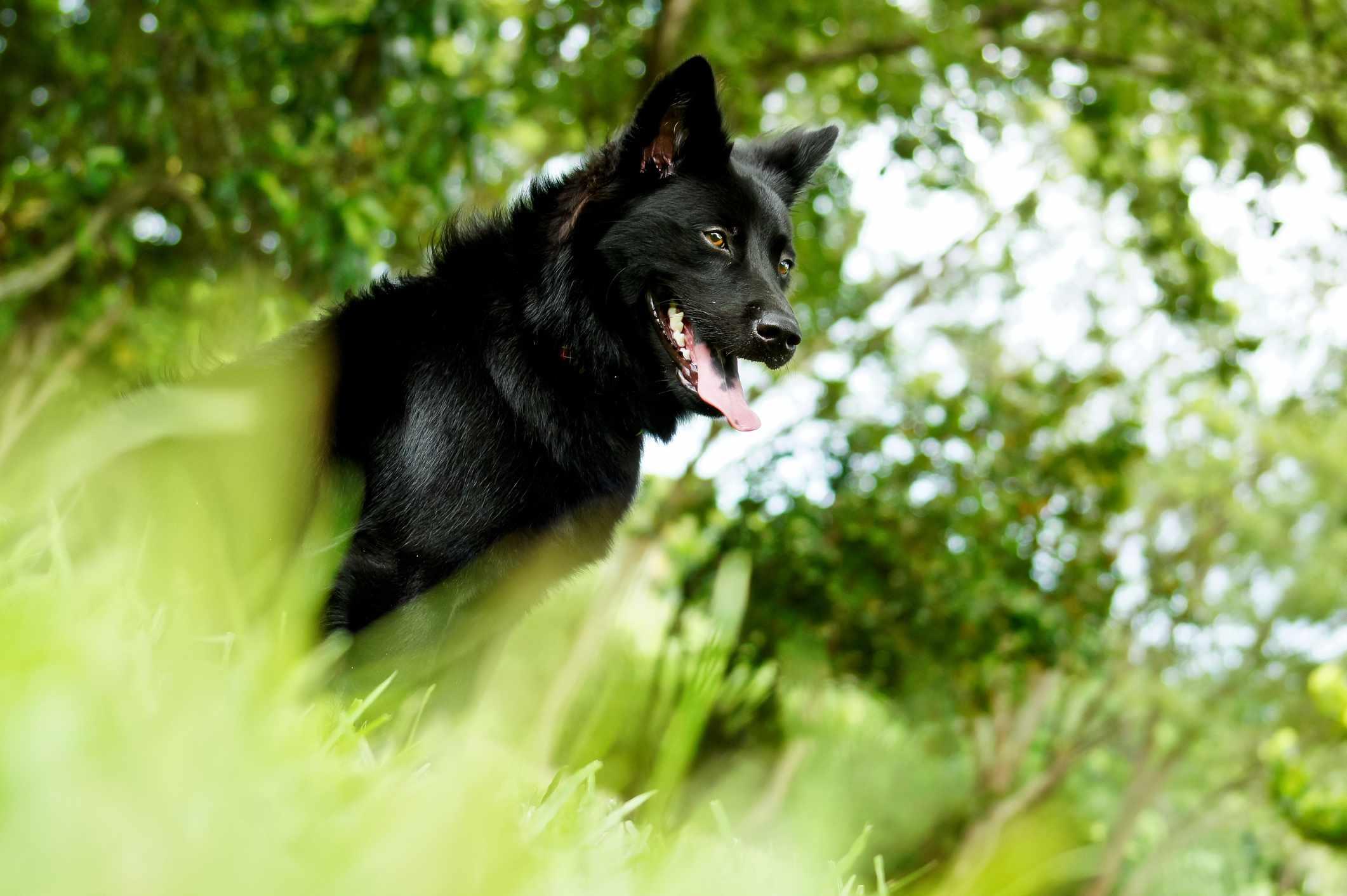 A Formosan Mountain Dog outdoors.