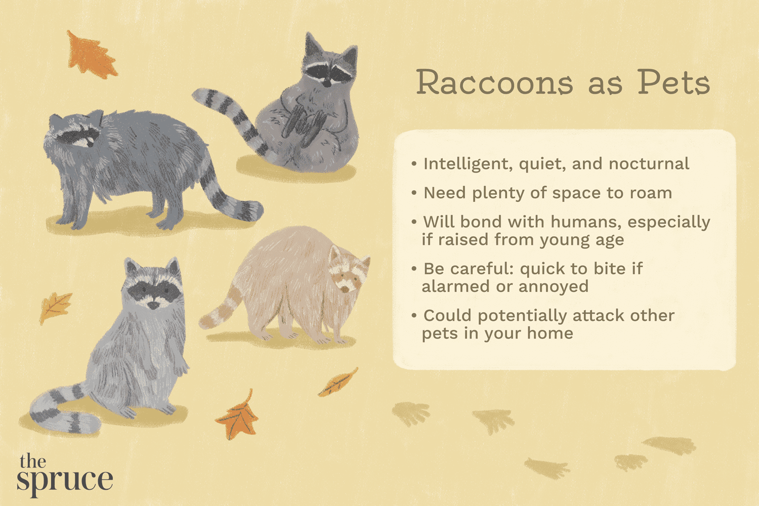 Illustration of pet raccoons and care tips