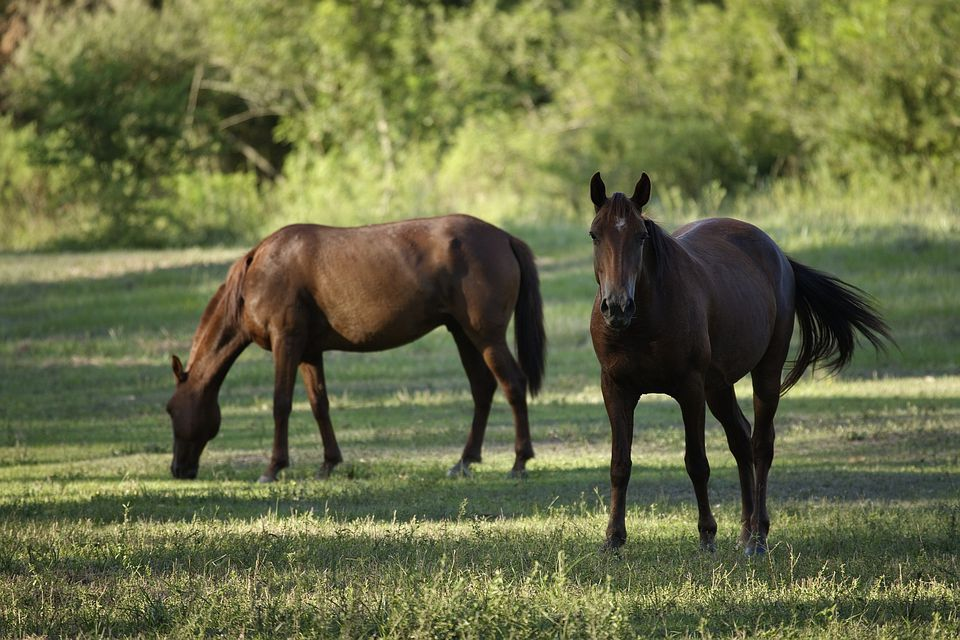 Two horses in a shady pasture.