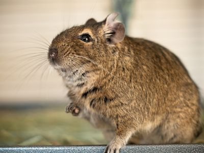 Keeping and Caring for Pet Degus