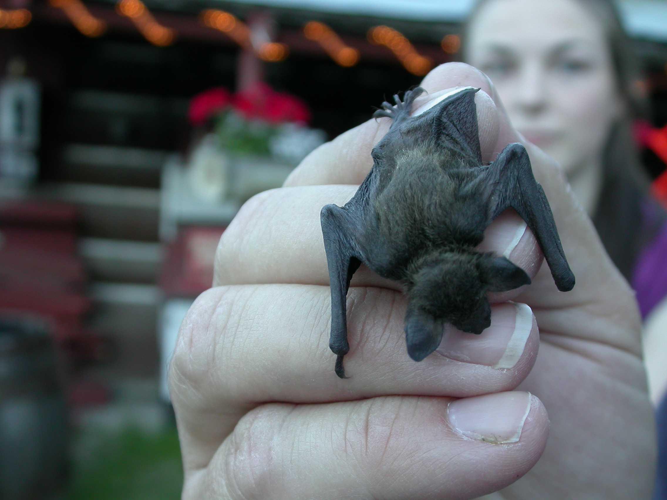 Baby Yuma Bat