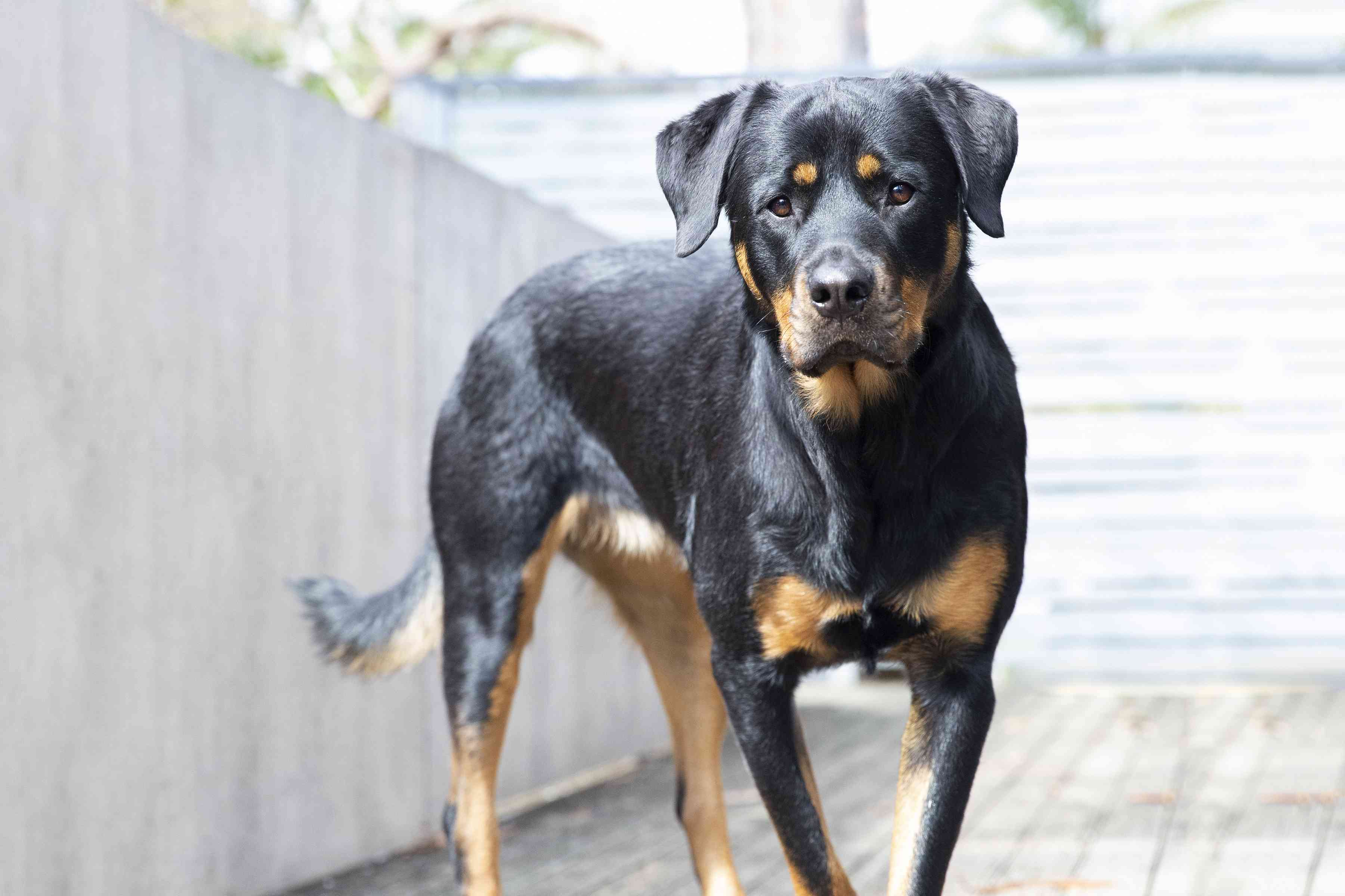 Rottweiler dog with black and brown fur standing outdoors