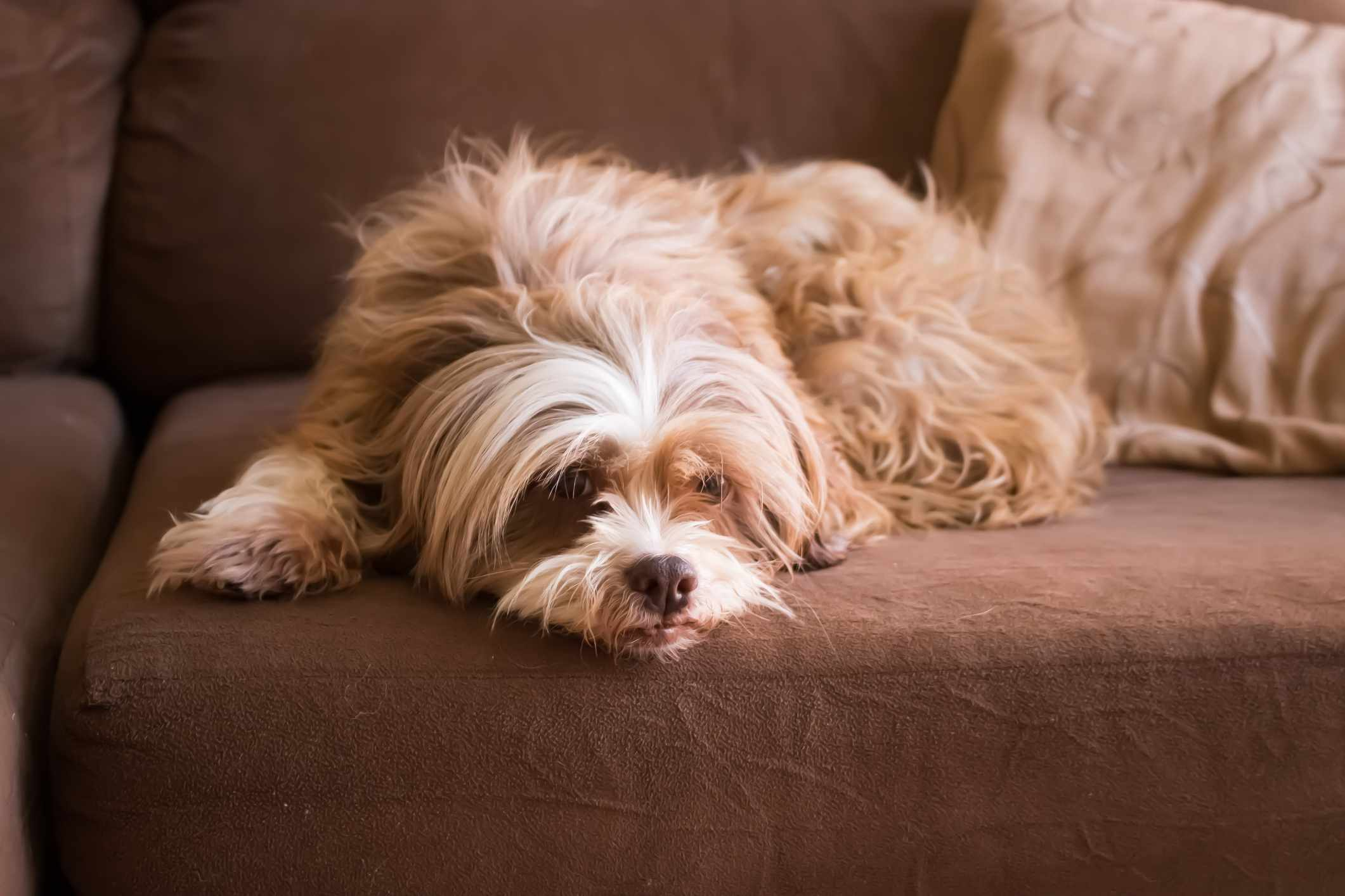 A Lhasa Apso lounges on the couch.