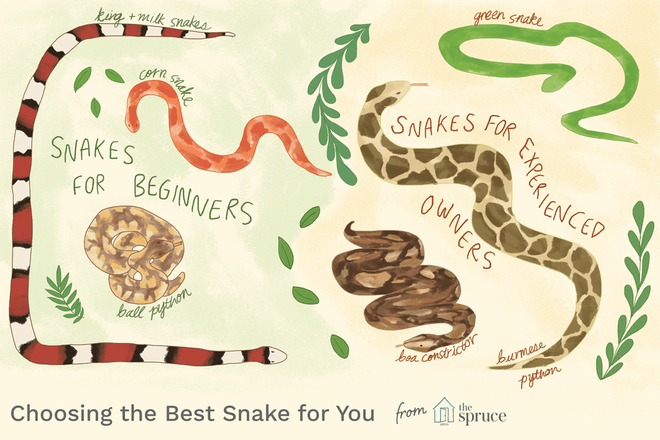 Illustration depicting good snakes for beginner and experienced owners