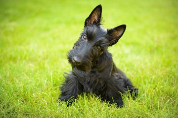 Scottish terrier in the grass