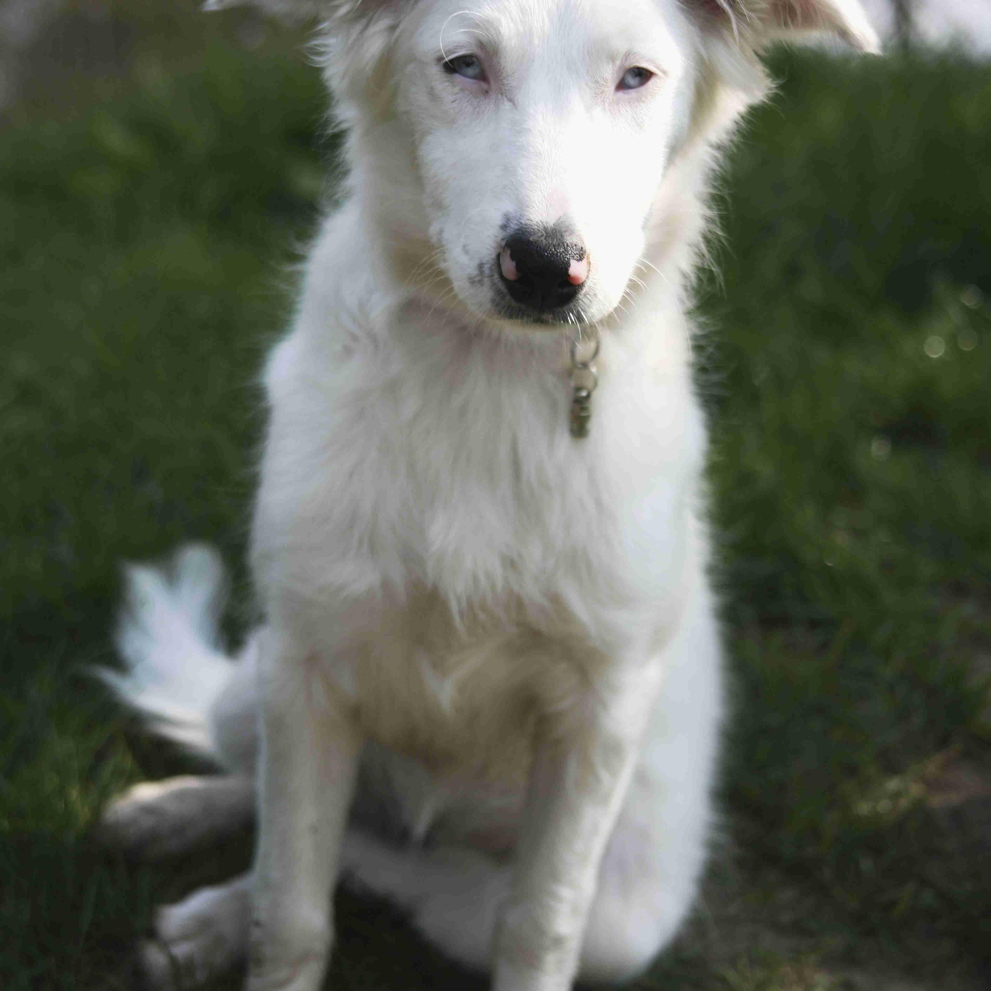 Deaf collie puppy posing