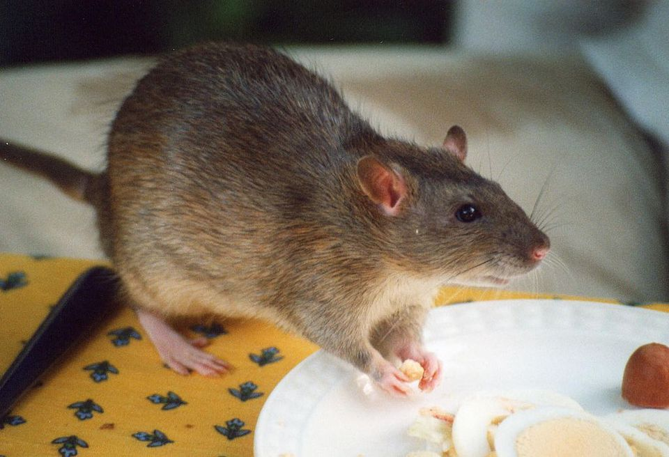 Pet agouti rat snacking