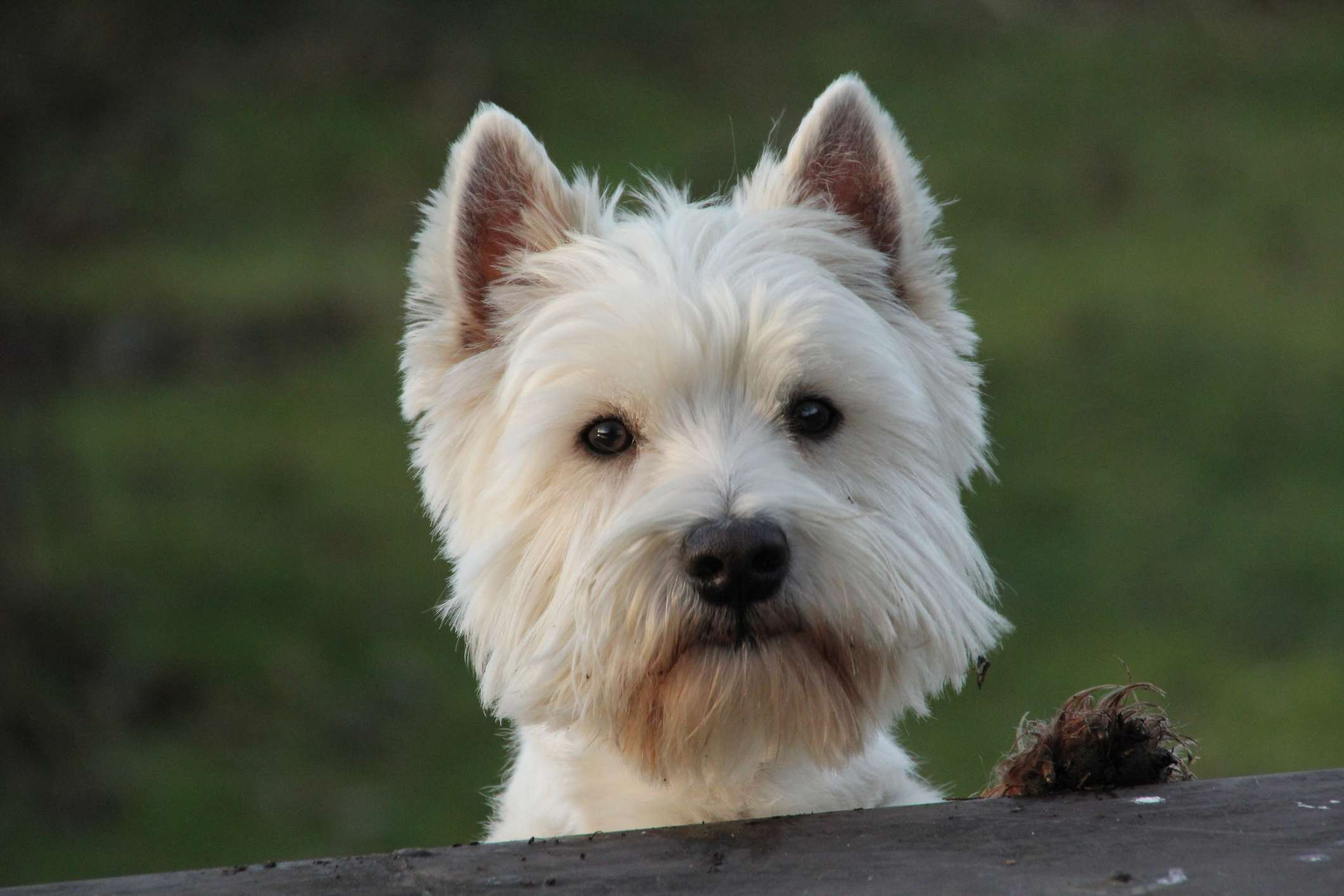 West Highland Terrier head shot with paw on fence and blurred green outdoor background