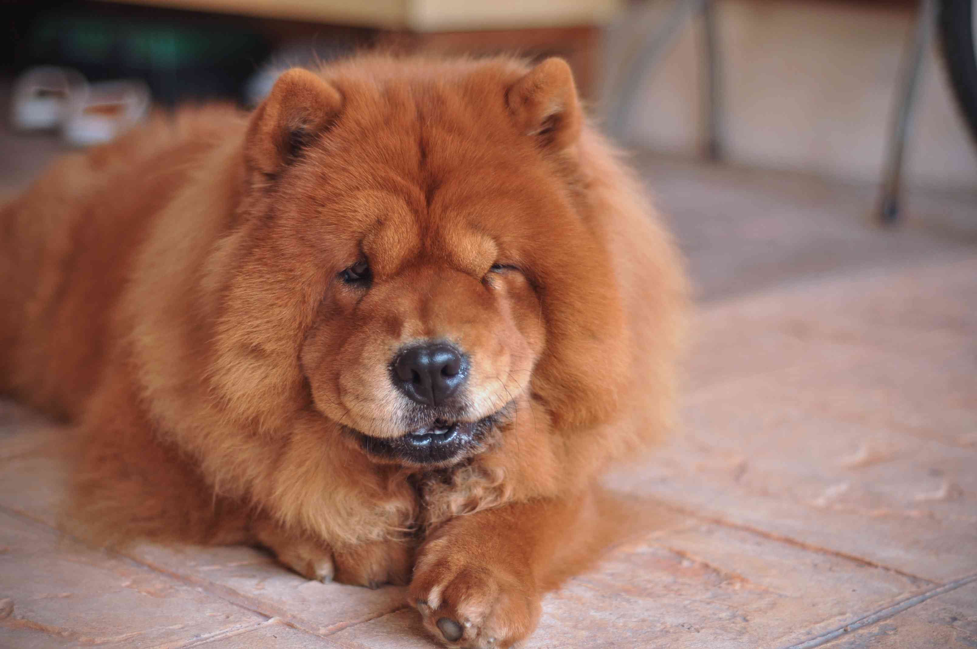Chow chow spitz dog breed lying on floor