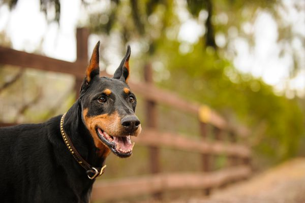 Doberman Pinscher smiling in front of a fence