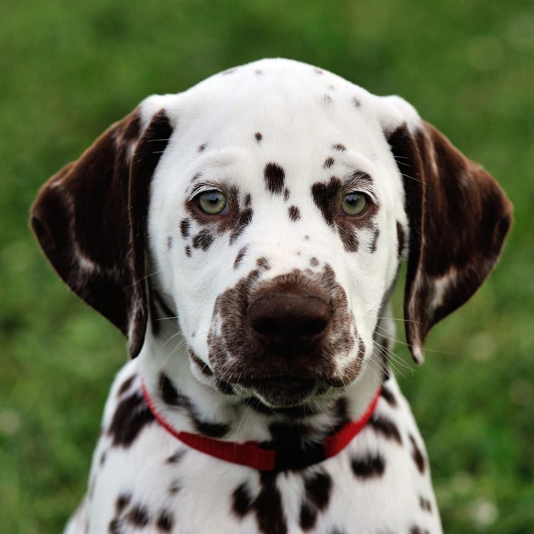 A close-up of a Dalmatian puppy.