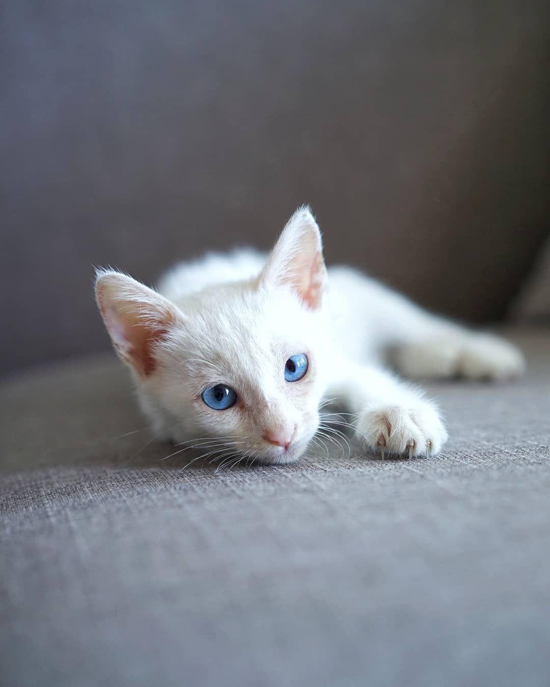 An albino kitten.