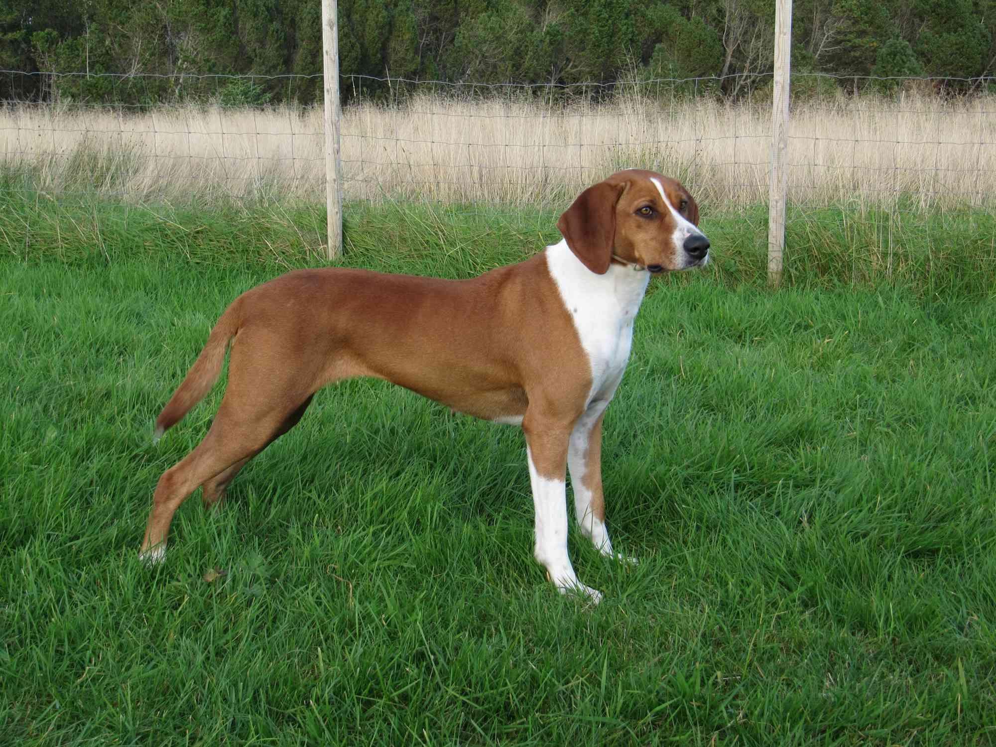 Norwegian Hygenhound standing on grass in a field