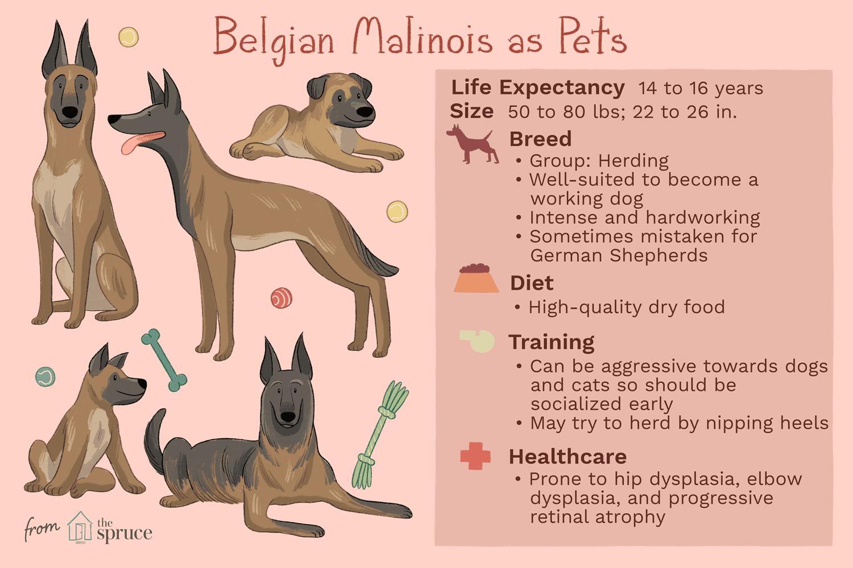 belgian malinois as pets illustration