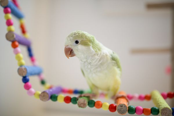 A Baby Quaker Parrot Plays Happily