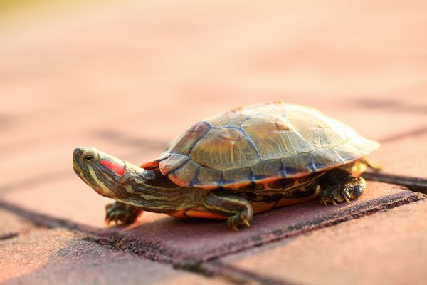 A red eared slider turtle walking on driveway
