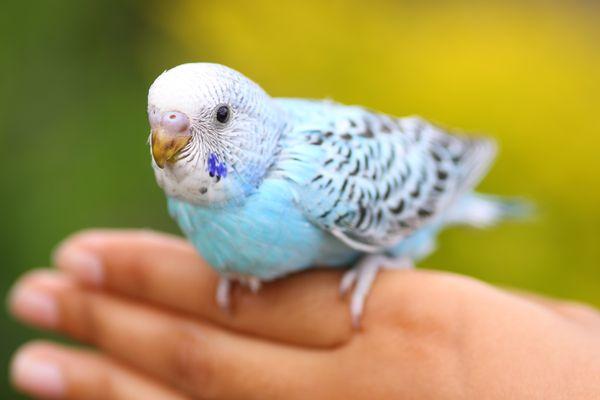 Pet parrot on human hand
