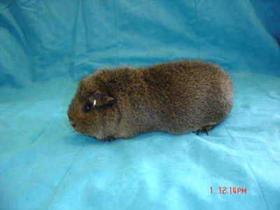 Teddy Guinea Pig , Texel Guinea Pig , Coronet Guinea Pig - Mitchell , null