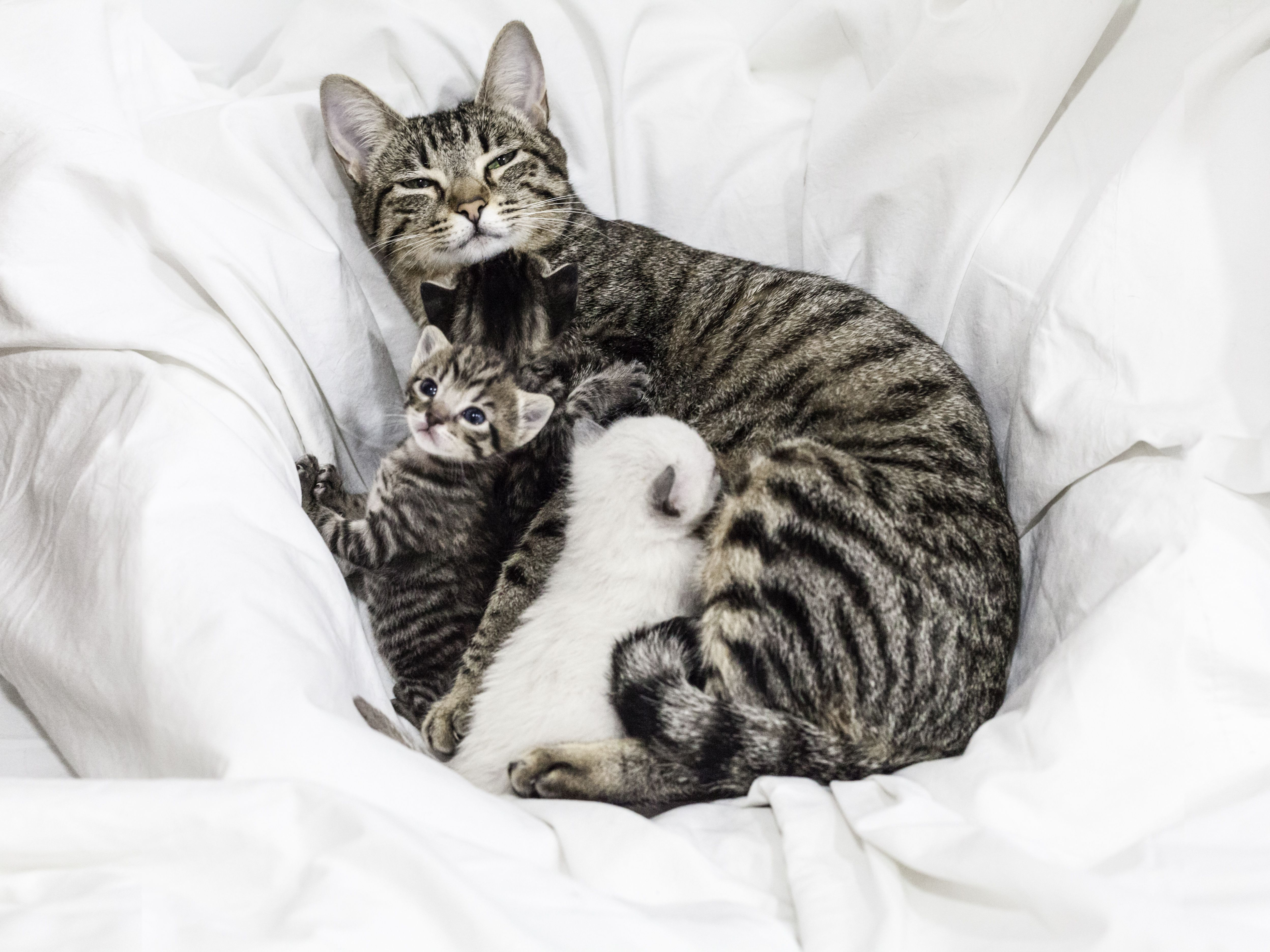 What to Do if a Mother Cat Won't Nurse Her Kittens