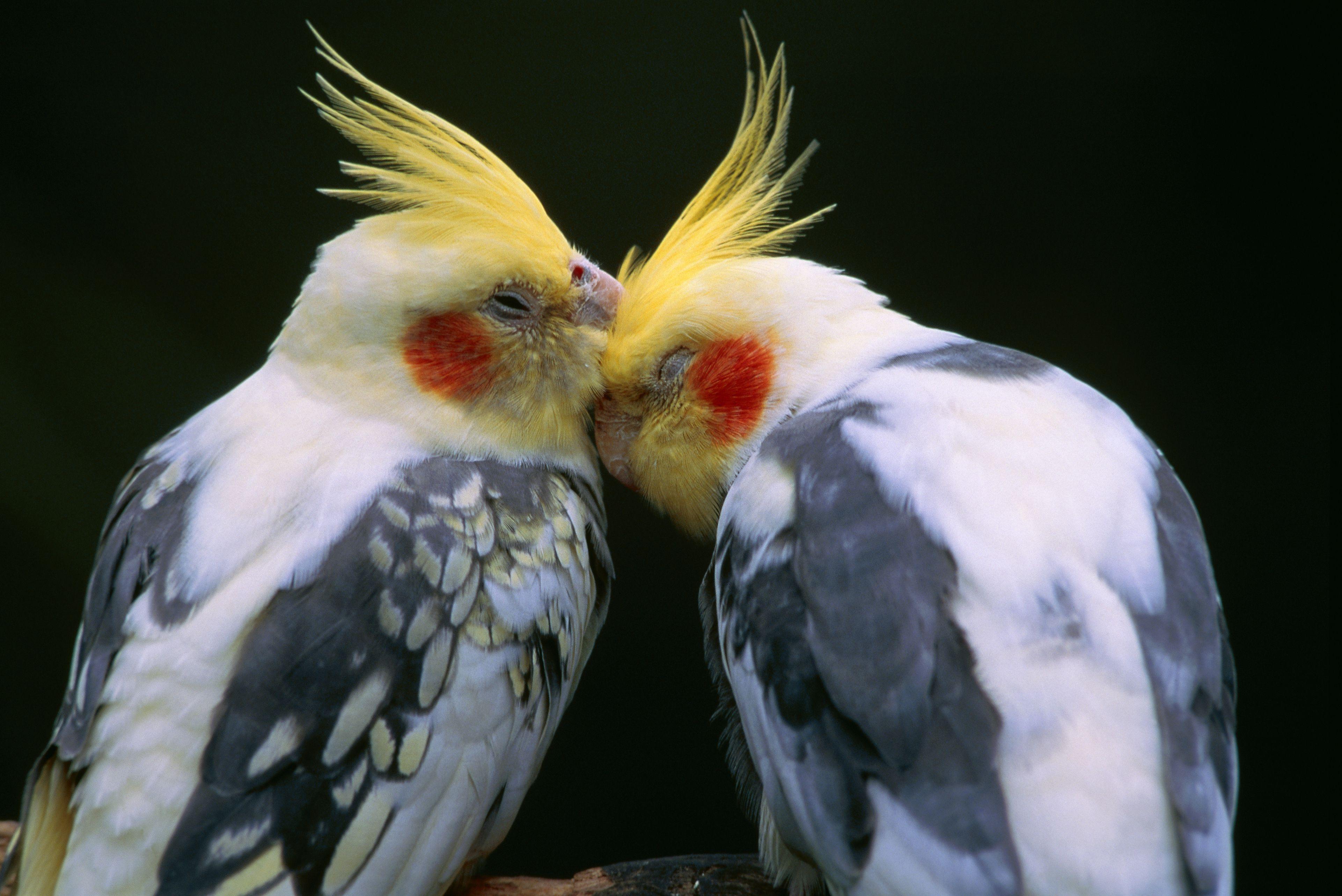 Cockatiel Breeding Basics
