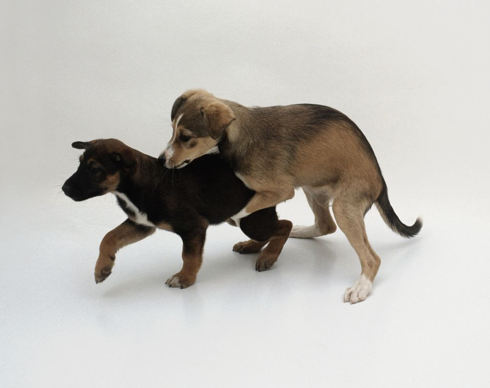 Puppies dog humping play