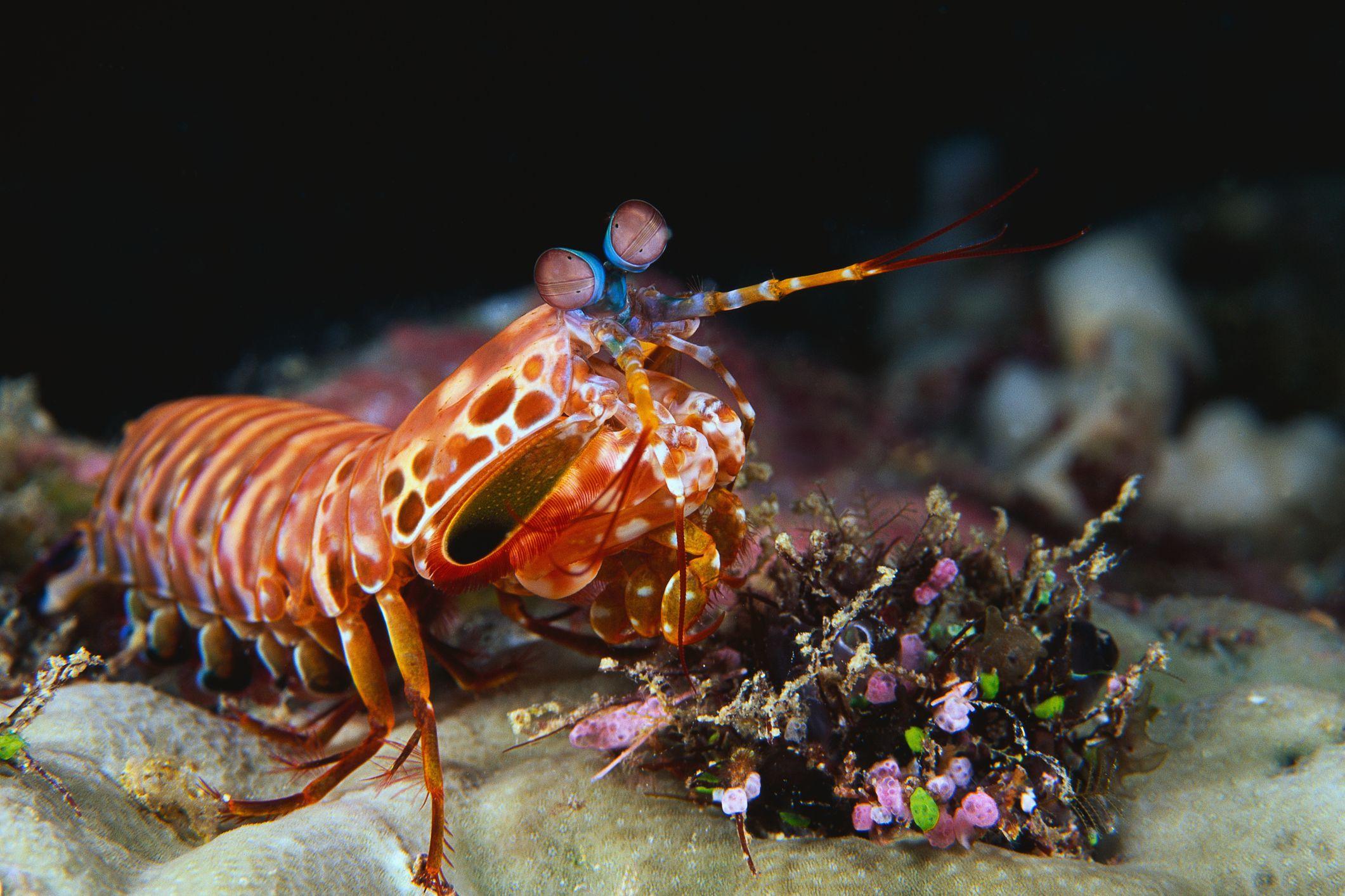 Mantis Shrimp in an Aquarium - Pest or Pet?