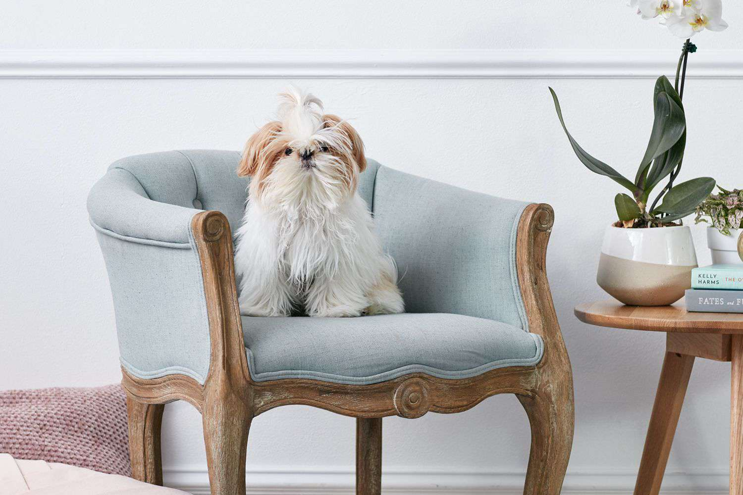 Shih Tzu sitting on blue-gray and wooden vintage chair
