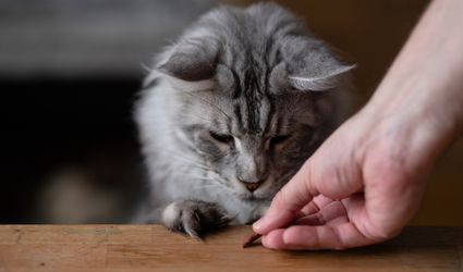 Giving a cat a treat