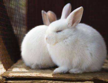 Soft Furry Rabbits