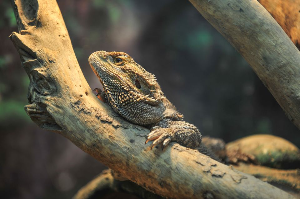 A pogoda vitticeps (bearded dragon) resting on a piece of wood