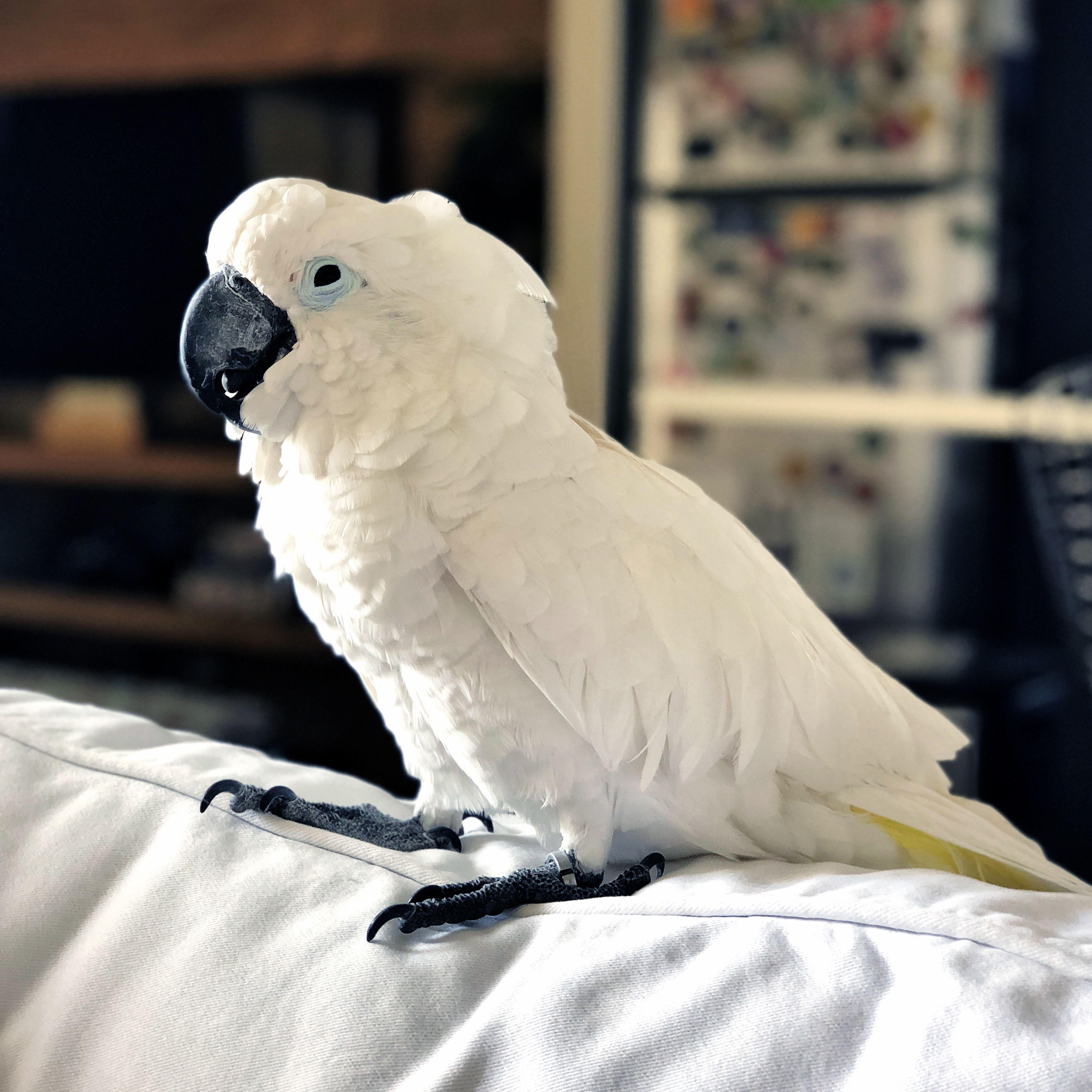 Cockatoo on white sofa.