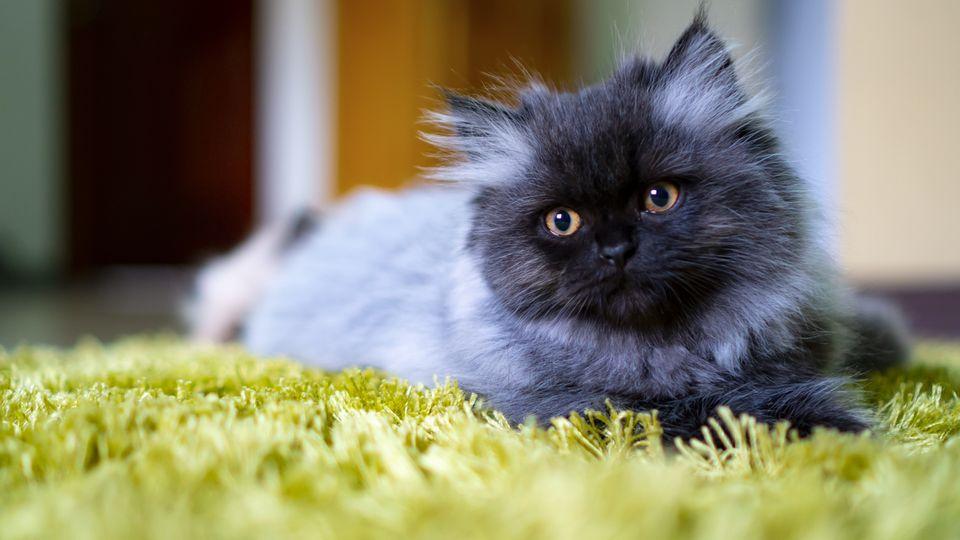 Dark grey Persian cat on green rug