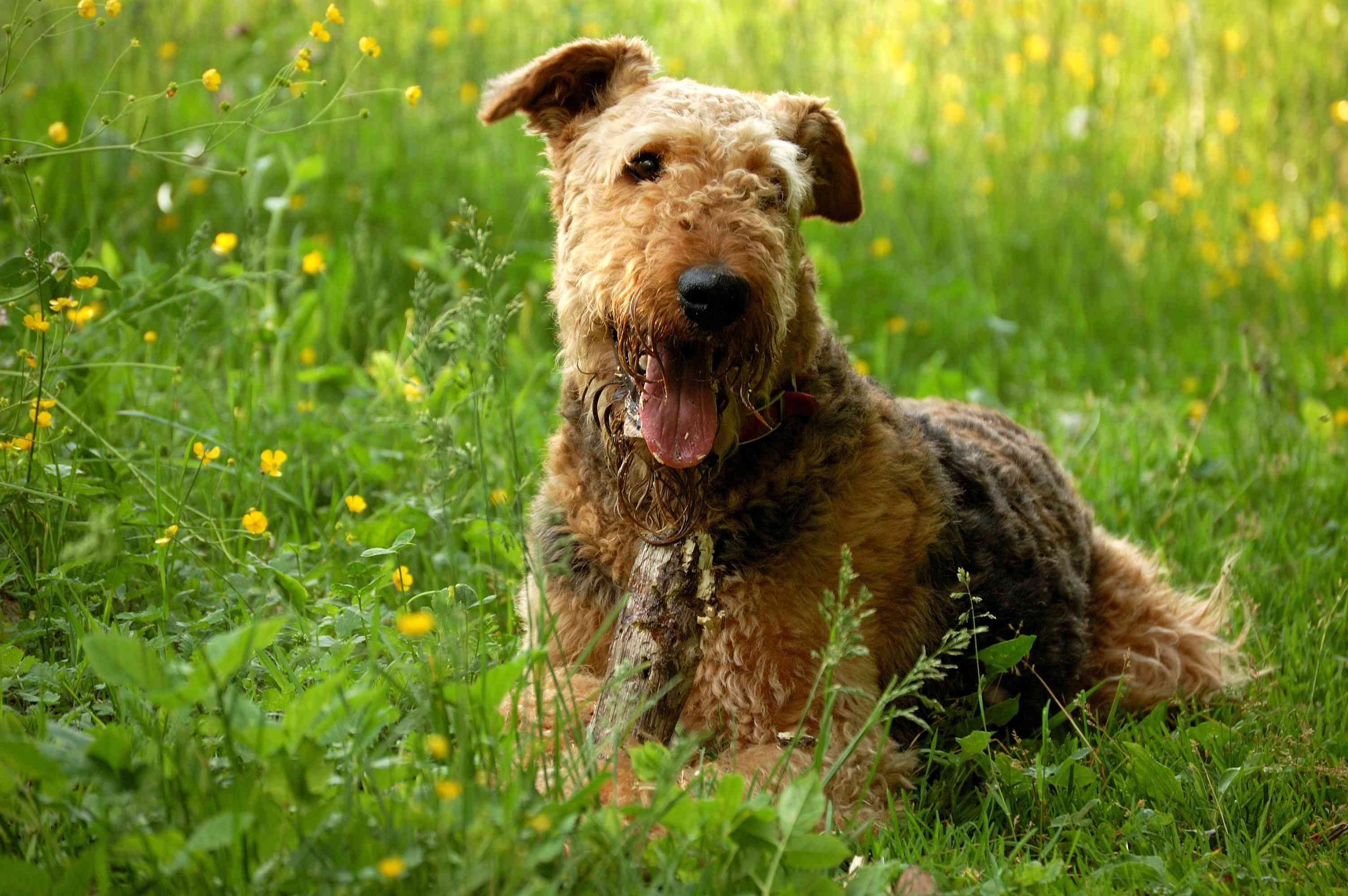 Airedale terrier sitting in field