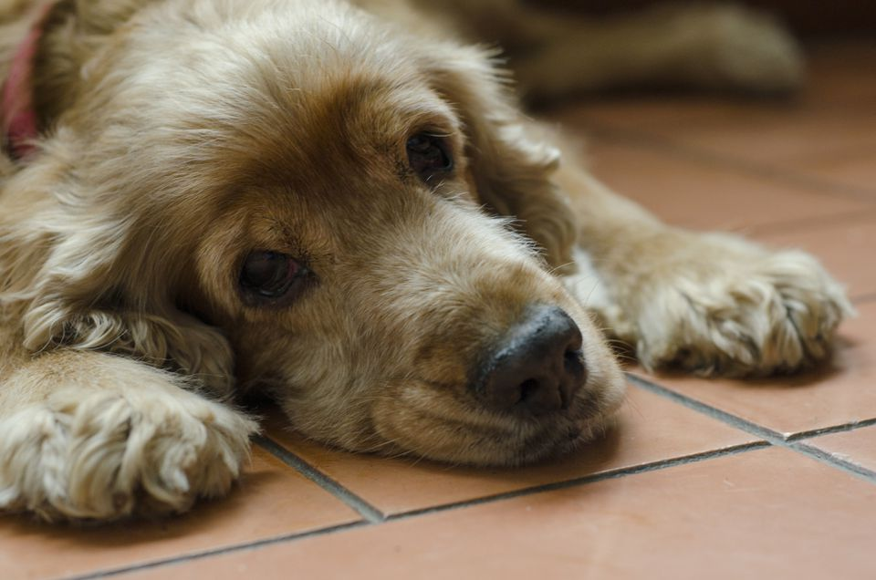 Old dog resting