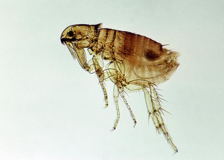 How Long Can Fleas Live In Carpet