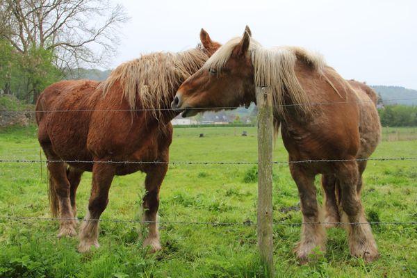 Two Percheron horses in a pasture