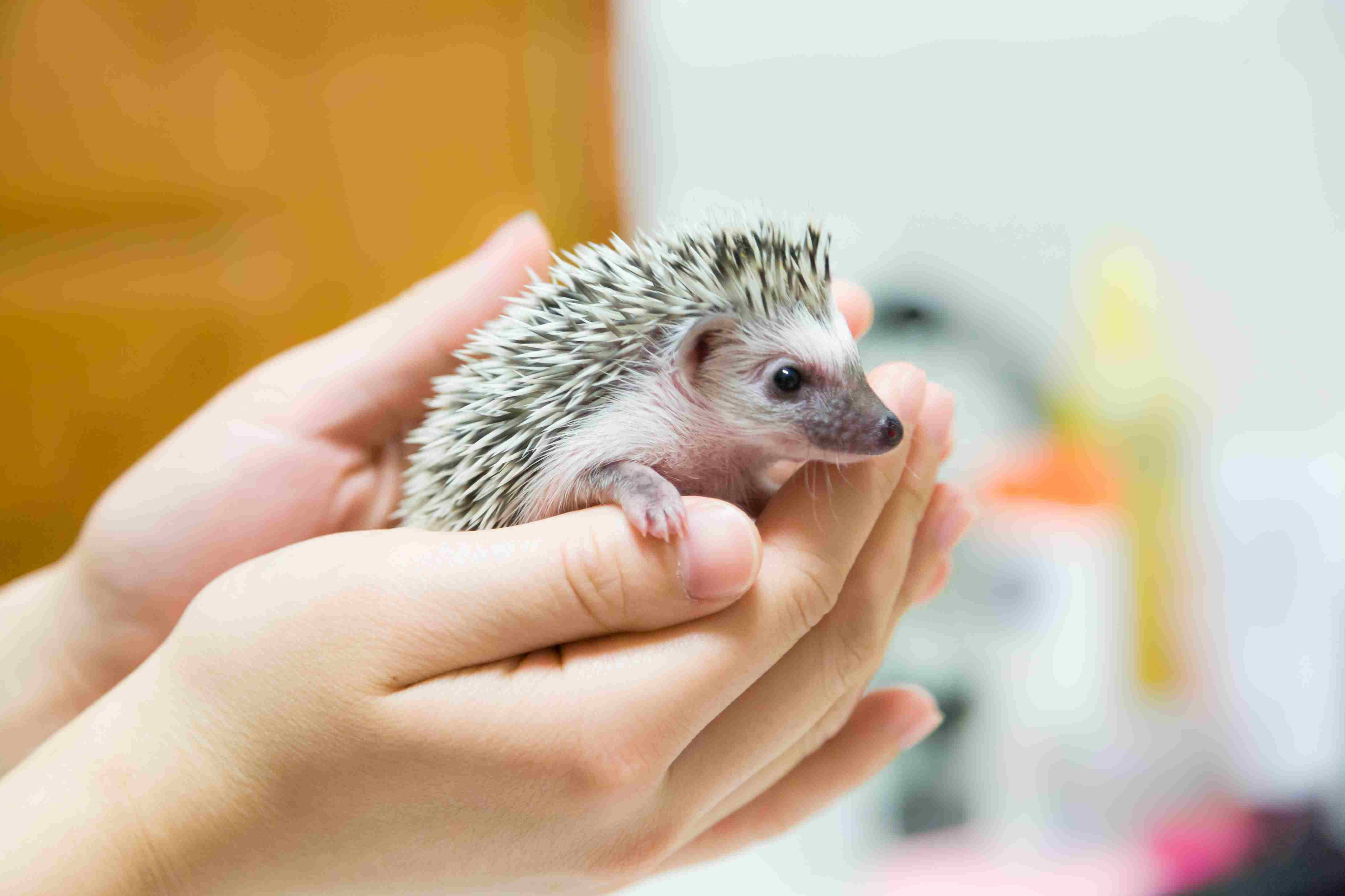 hedgehog in a person's hands