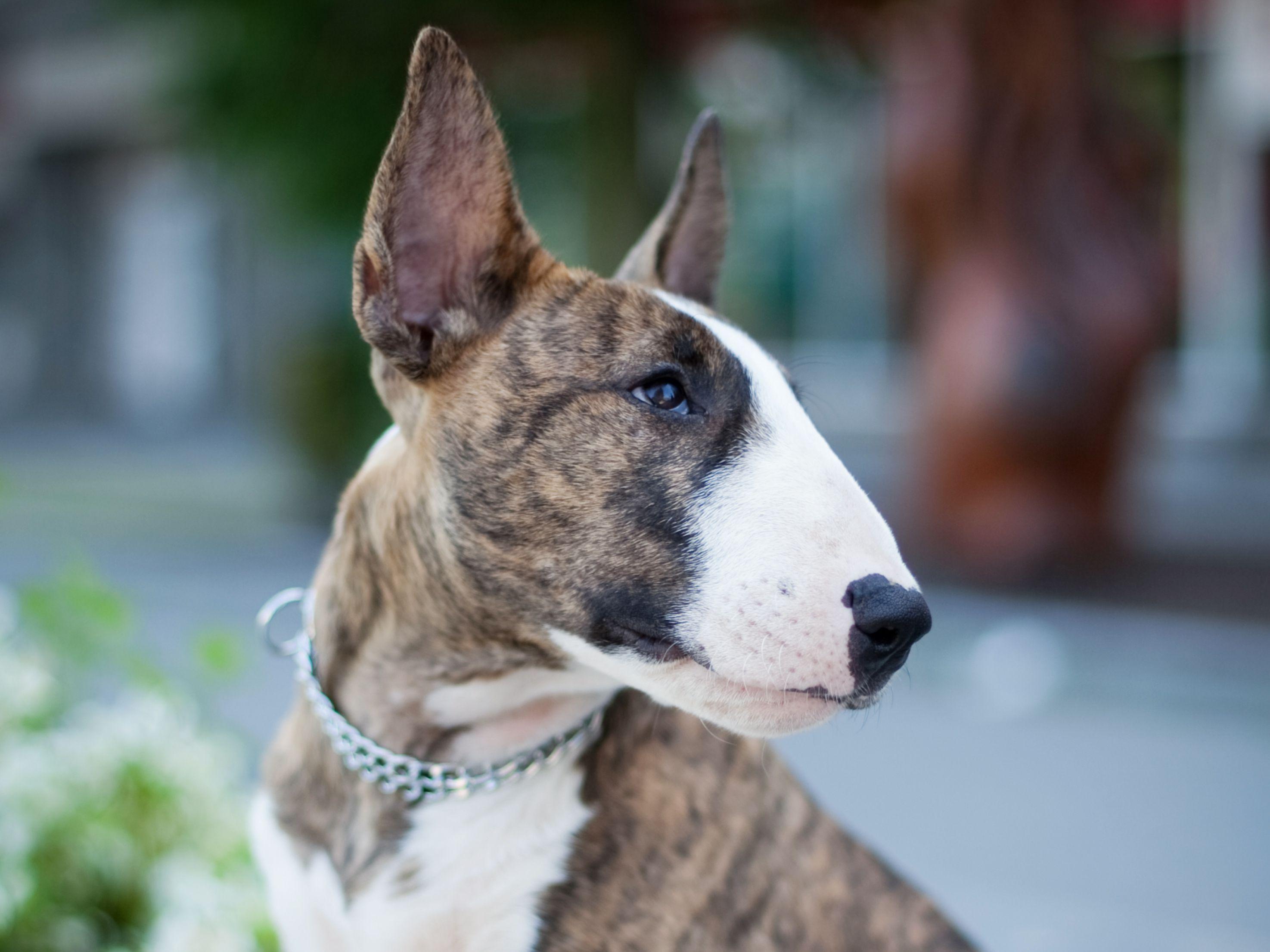 Bull Terrier Full Profile History