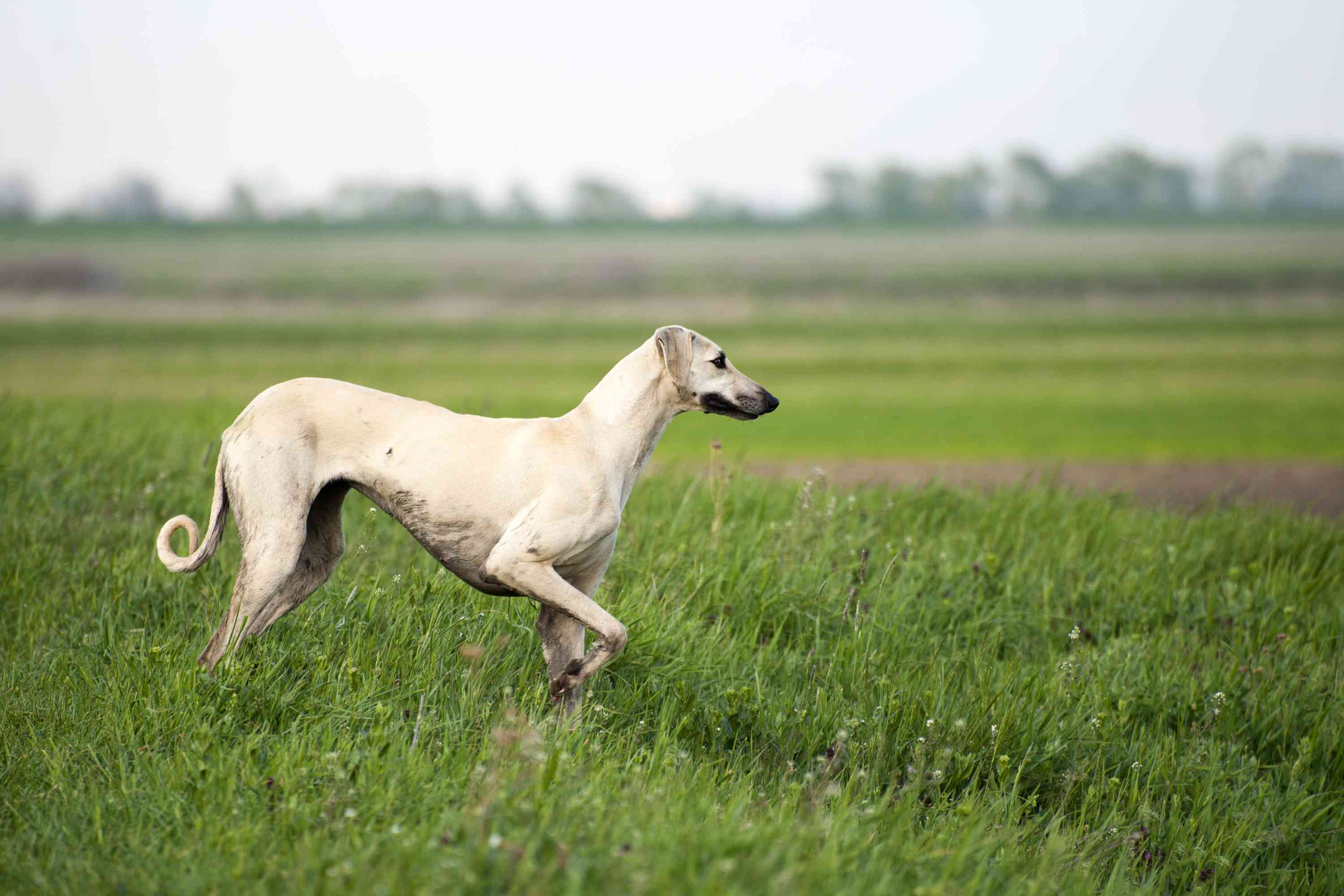 A sand-colored dog with a thin body and curled tail standing in the grass ready to run.