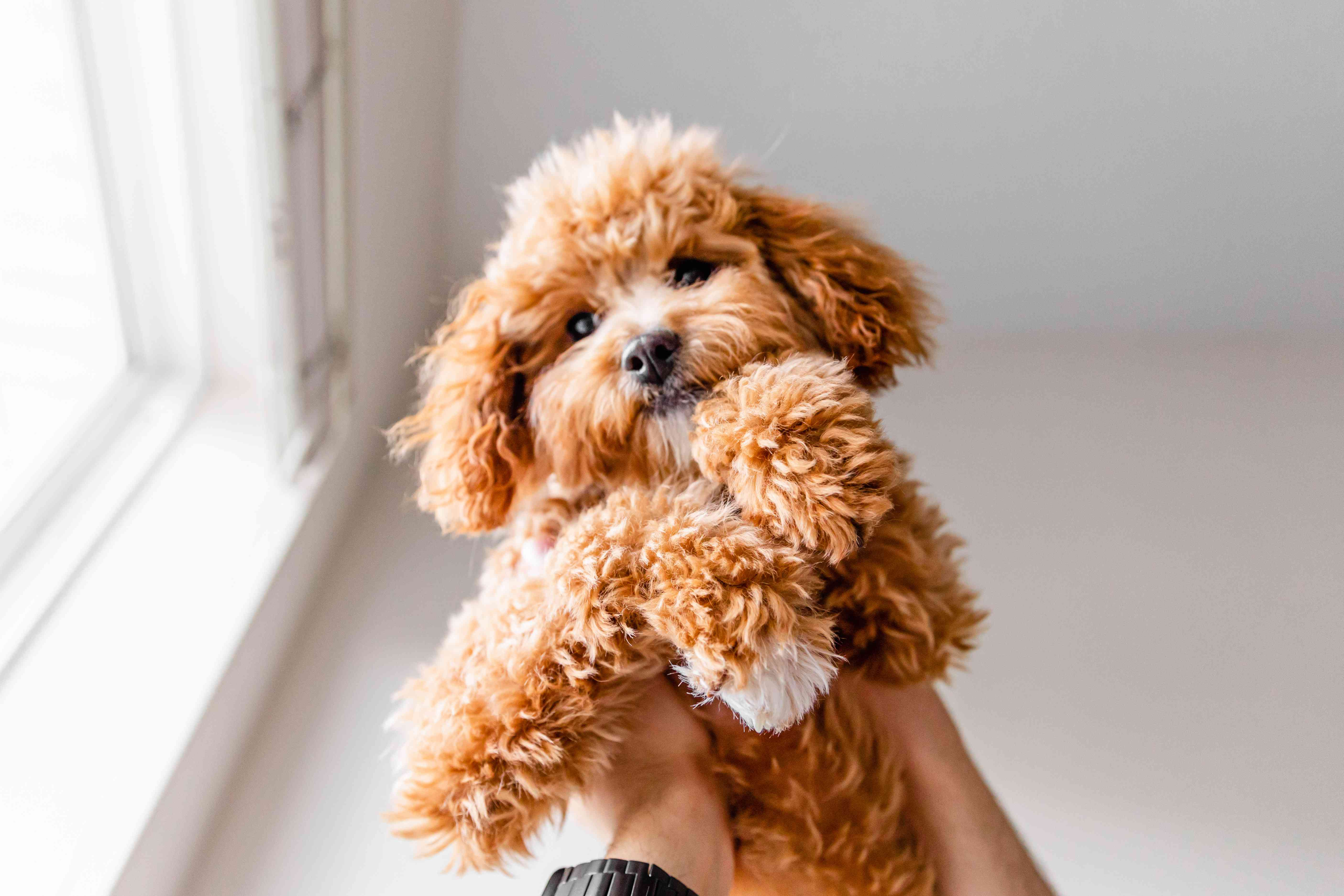 Light brown and fluffy puppy held up in the air