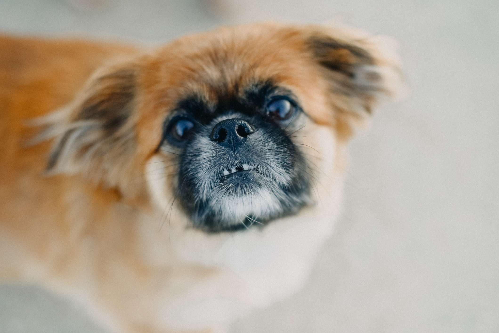 Pekingese looking up at camera showing top teeth with some missing.